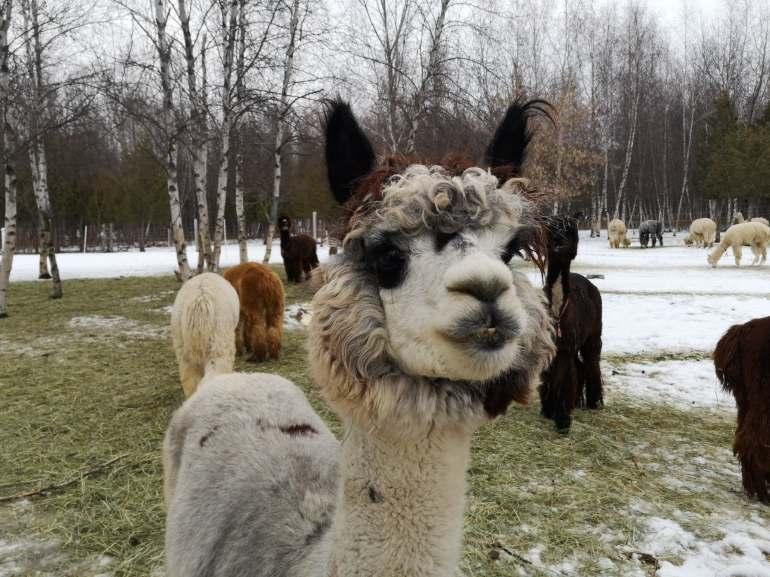 alpacas cute