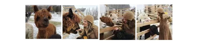 alpacas photo collage