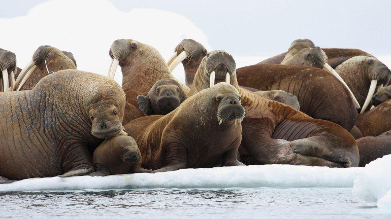 #Walrus #thinice #Ourplanet #endangered #climatechange